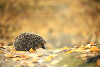 Hedgehog in the autumn forest