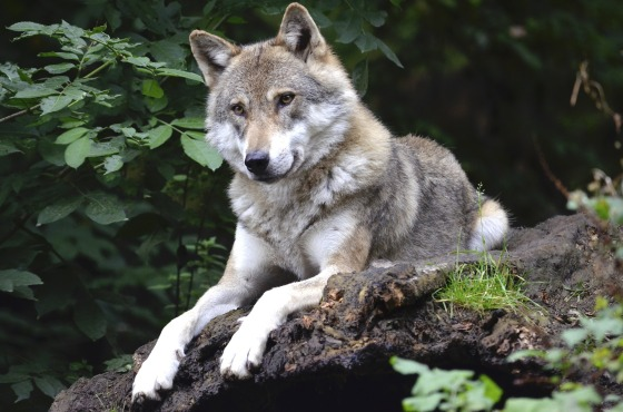 wolf-1336229_1920